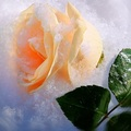 Winter Rose for My Fairy Sister ♥  - yorkshire_rose photo