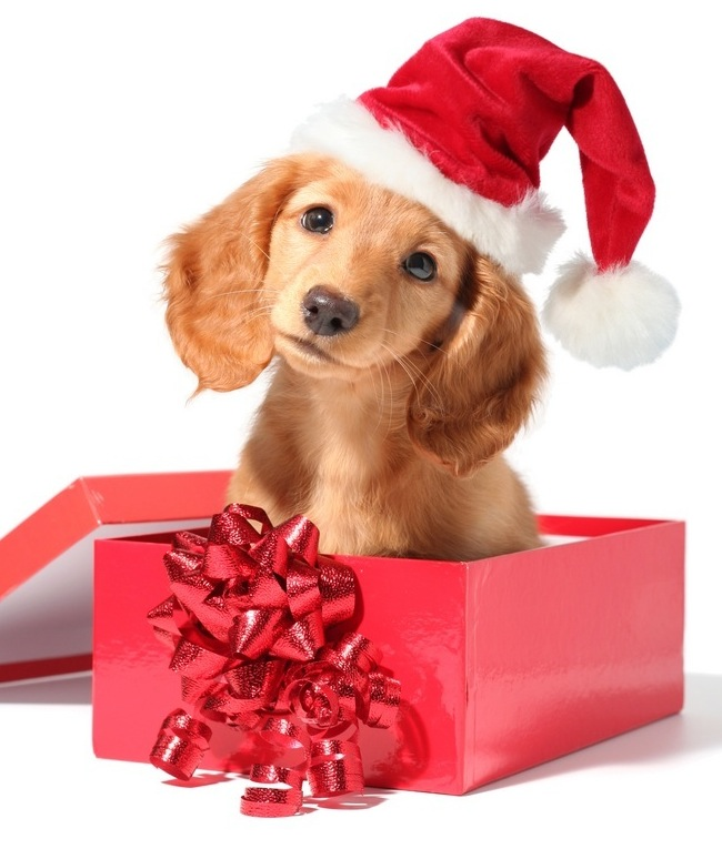 dogs images christmas dog hd wallpaper and background photos 33144122