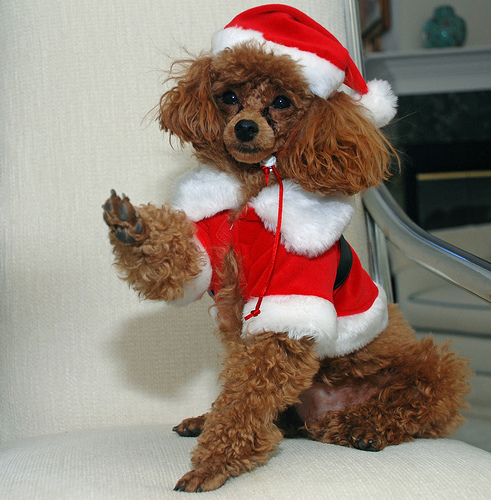 cute christmas poodle