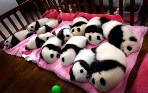 12 cute pandas