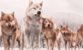 the wolf pack,BD 2 - twilight-series photo