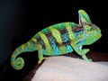 BLUE MALE VEILED CHAMELEON