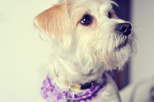 Dogs wallpaper probably with a maltese dog titled Dog
