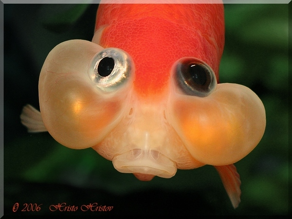 I am so UPSET! - Bubble eye Goldfish Photo (33209386) - Fanpop