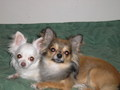 Nana and Antti - chihuahuas photo
