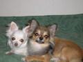 Nana and Antti - chihuahuas photo