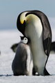 Penguins  - animals photo