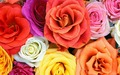 Roses  - flowers wallpaper