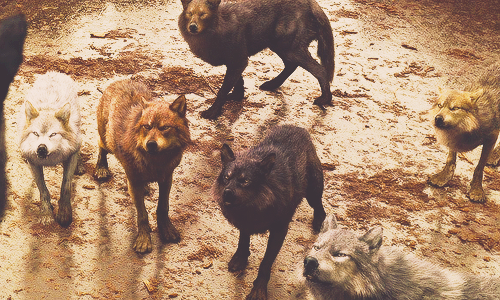 Wolves in BDp1