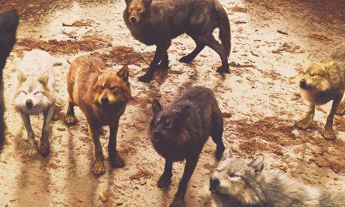 늑대 in BDp1
