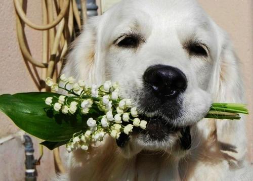 dog holding Blumen