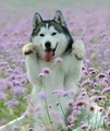 happy Husky - dogs photo