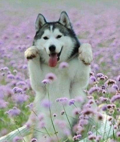 Dogs wallpaper probably with a malamute entitled happy Husky