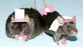 married mice - mice photo