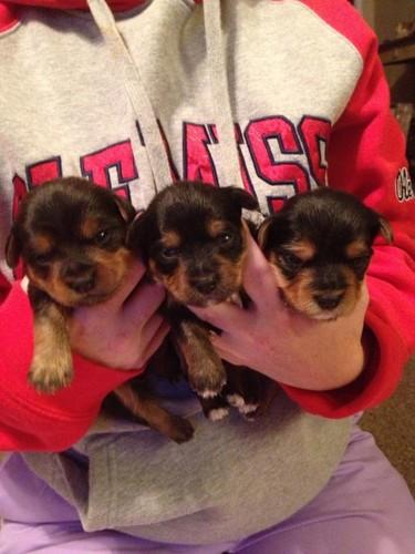 morkies babies