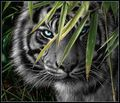Black tiger - black-tigers photo