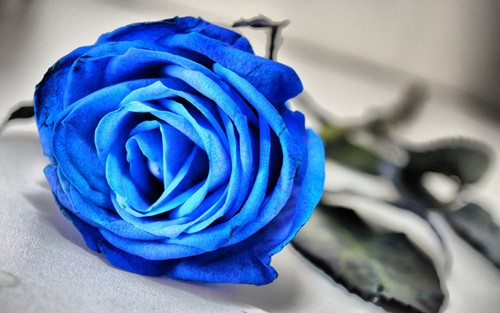 Flowers wallpaper titled blue rose