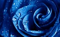 Blue Rose  - flowers wallpaper