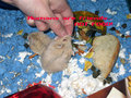 Hamster Biting Lesson - hamsters photo
