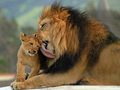 Lions - animals photo