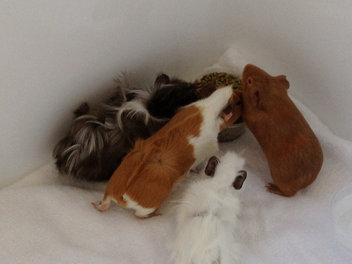 My guinea pigs in the bathtub during storm