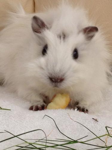 My pet guinea pig cutie