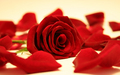 Red Rose  - flowers wallpaper