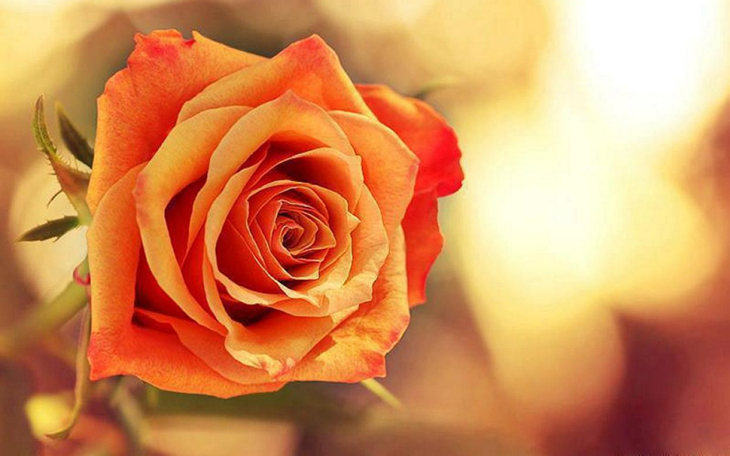 Flowers images Rose HD wallpaper and background photos