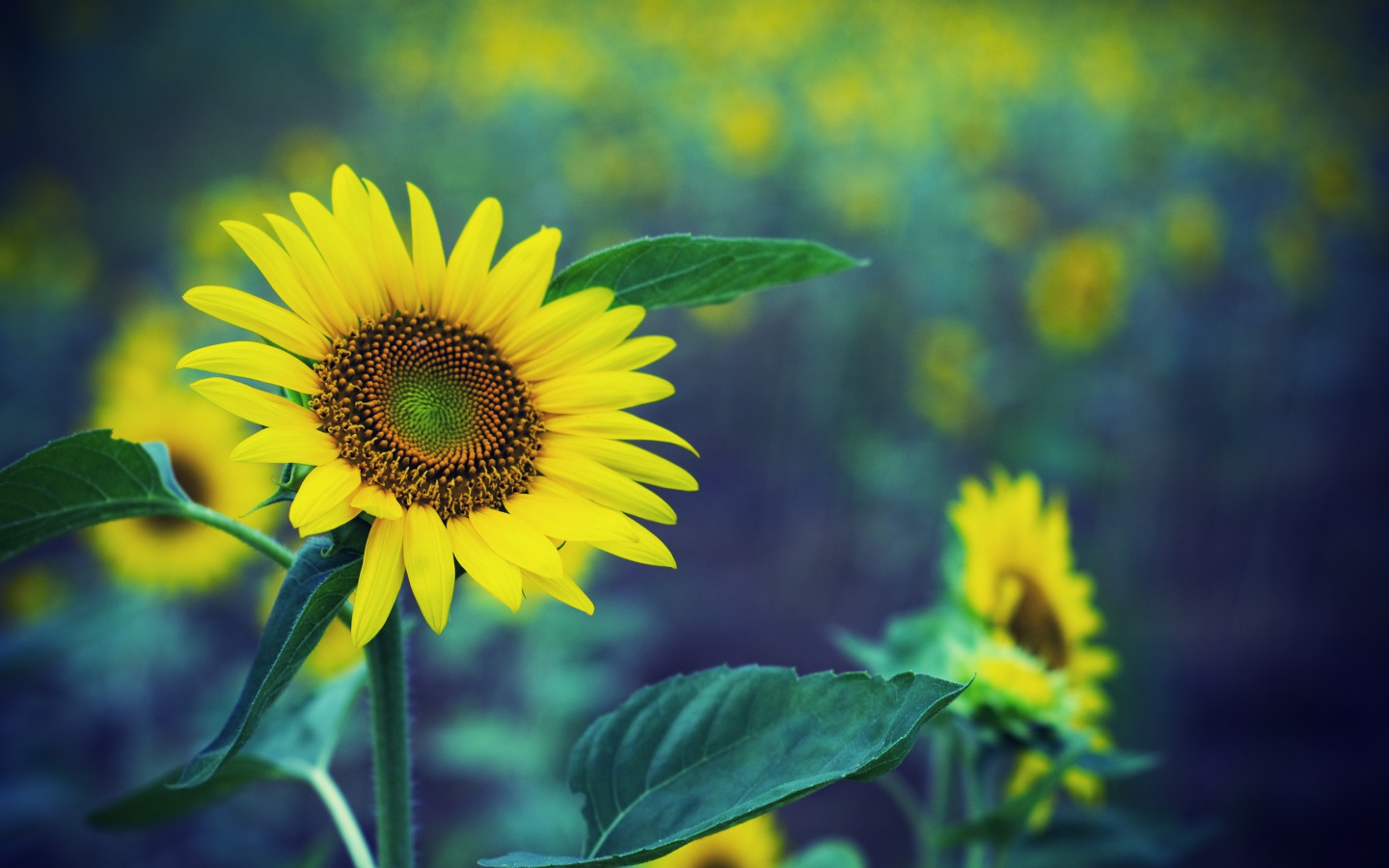 flowers images sunflowers hd wallpaper and background photos (33340948)
