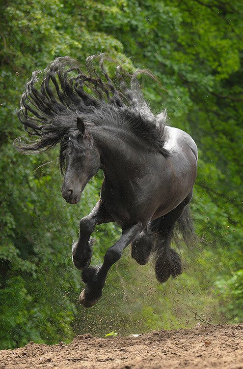 beautiful black horse  Animals Photo 33355403  Fanpop