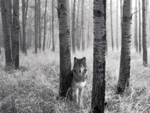 wolfy 1