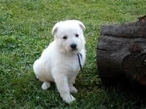American white shepherd 小狗