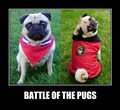 Battle of the Pugs - animal-humor photo