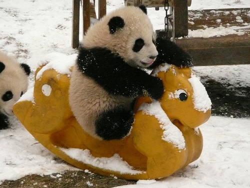 Beautiful Pictures achtergrond called Cute Panda