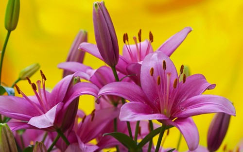 fleurs fond d'écran with a black eyed susan, an african daisy, and a blé, maïs souci, marigold titled Lilys