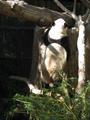 Panda - zoos photo