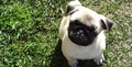 Pug Facebook Cover Photo - facebook-covers photo
