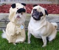 Pug Imposter - animal-humor photo
