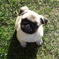 Pug Puppy - all-small-dogs photo