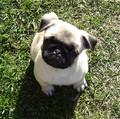 Pug Puppy - baby-pugs photo