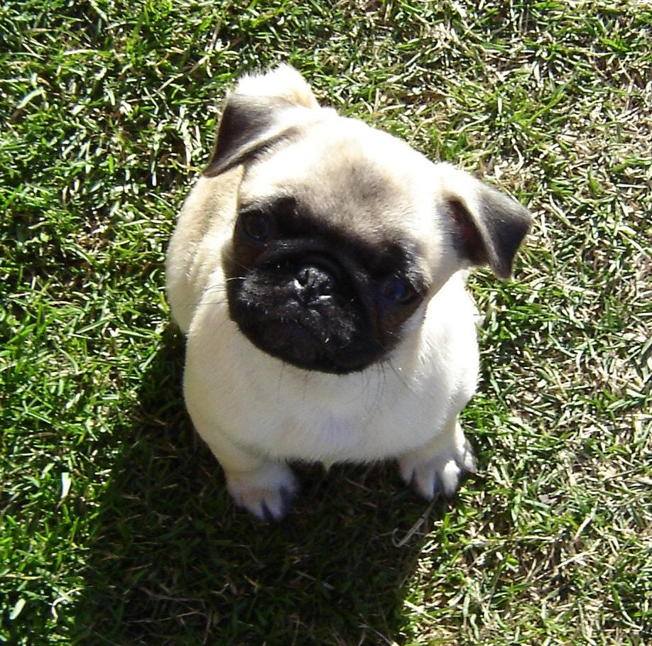Baby Pugs Images Pug Puppy Hd Wallpaper And Background Photos