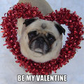 Pug Valentine - animal-humor fan art