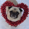 Pug Valentine - dogs photo