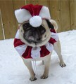 Santa Pug - pugs photo