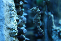 Seahorse  - animals photo