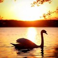 Swan  - animals photo