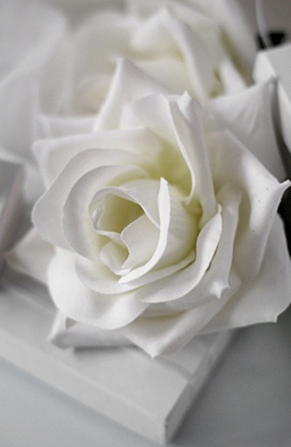 White Rose - Flowers Photo (33460173) - Fanpop