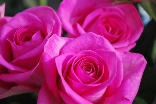 http://images6.fanpop.com/image/photos/33400000/colorful-roses-roses-33473277-500-335.jpg