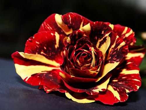 rose rouge et jaune