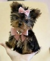 yorkie  - yorkies photo
